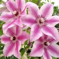 Clematis Carnaby
